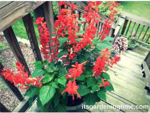 Red Salvia in Container how to garden beginner gardener
