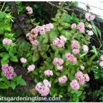 #Sedum Matrona Blooming! #succulent #autumn