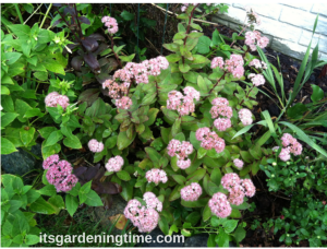 Sedum in Full Bloom