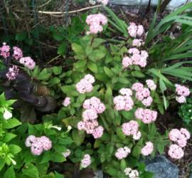 Sedum in Full Bloom how to garden beginner gardener
