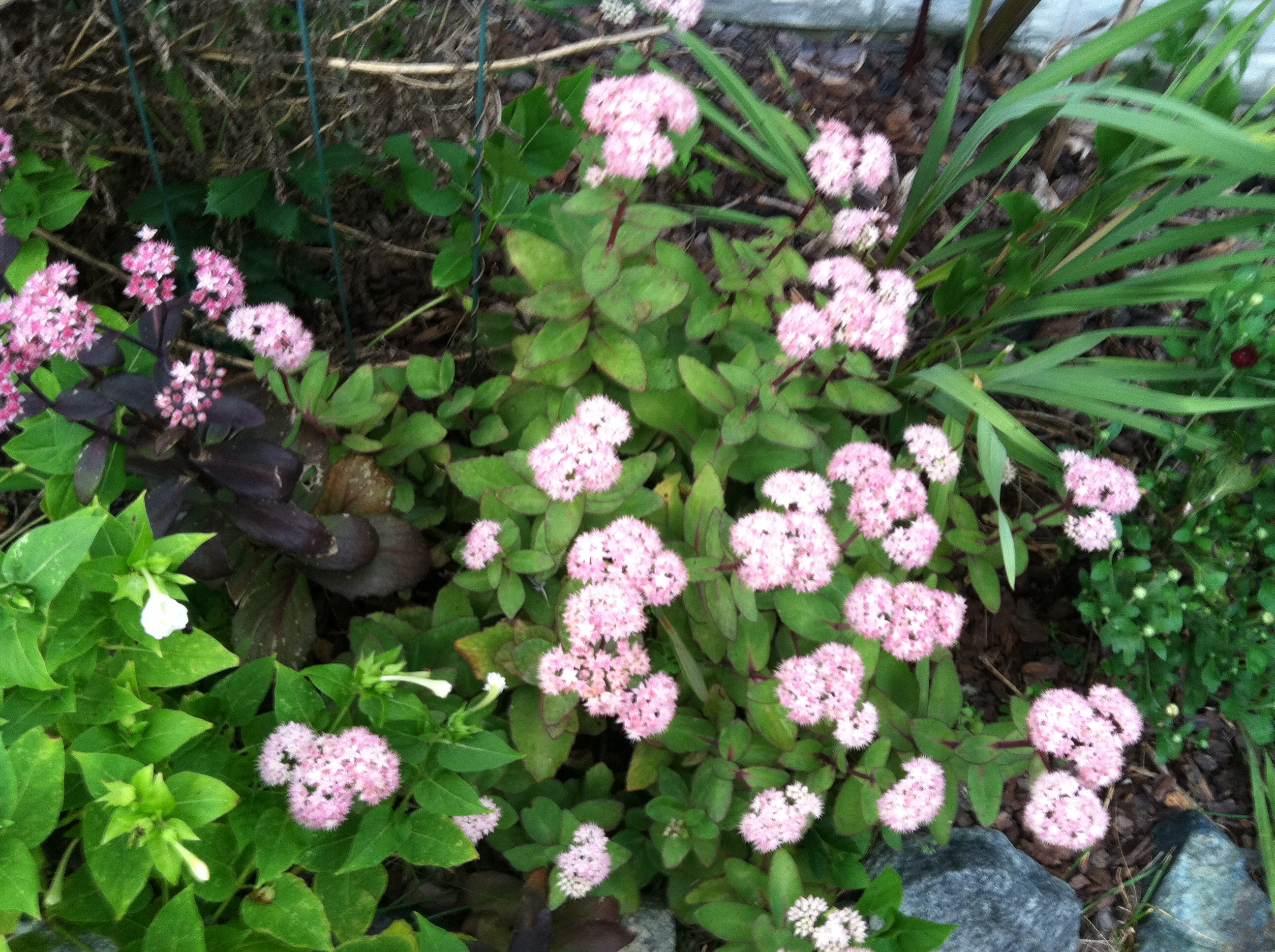 Sedum in Full Bloom how to garden beginner gardener