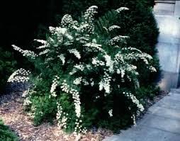 Snowmound Spirea [Photo Courtesy: woodyplants.cals.cornell.edu]