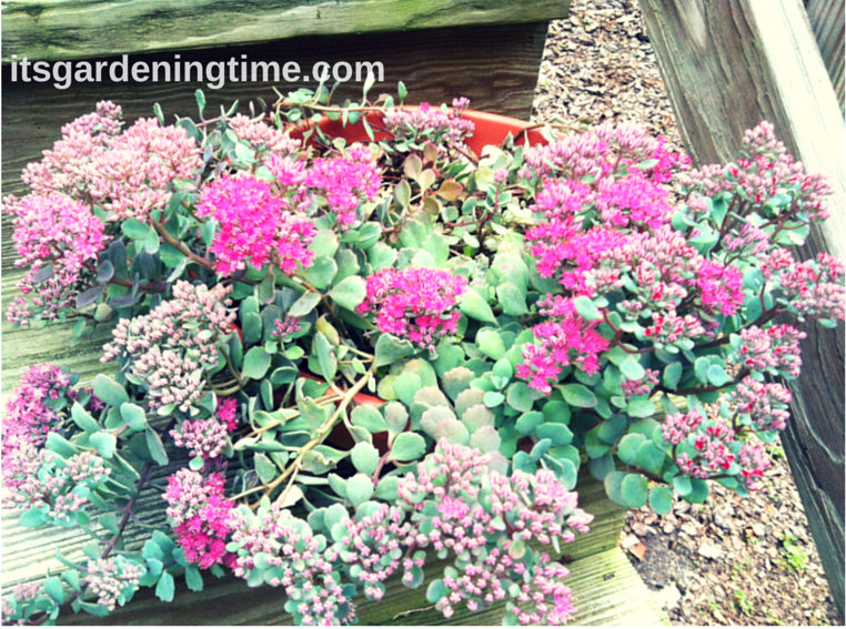 Stonecrop Sedum how to garden beginner gardener