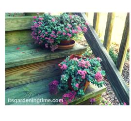 2 Pots of Stonecrop Sedum how to garden beginner gardener