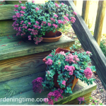 How 2 Get #Free #Stonecrop #Sedum Every Year! #succulent