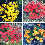 The Care & Feeding of #Mums! #autumnblossoms #flowers