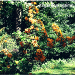 5 Reasons 2 Grow #Pyracantha Teton! #autumn #shrubs