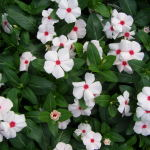 #Drought-Tolerant #Vinca is #LowMaintenance! #flower #flowers