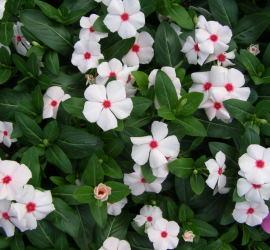 Cora Cascade Peach Blush Vinca [Source: www.parkswholesaleplants.com]