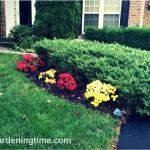 4 Gorgeous #Chrysanthemums in #Autumn #Garden! #flowers #flower