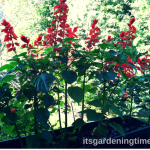 Red #Salvia Blooming in #Autumn Sun! #flowers
