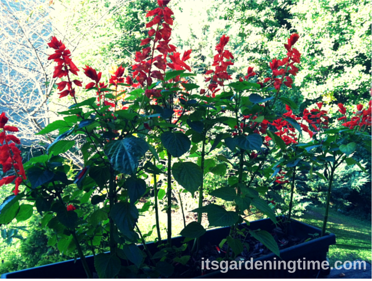 Red Salvia in the Fall how to garden beginner gardener