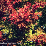#Autumn #Landscape of #Trees #Shrubs & #Chrysanthemums!
