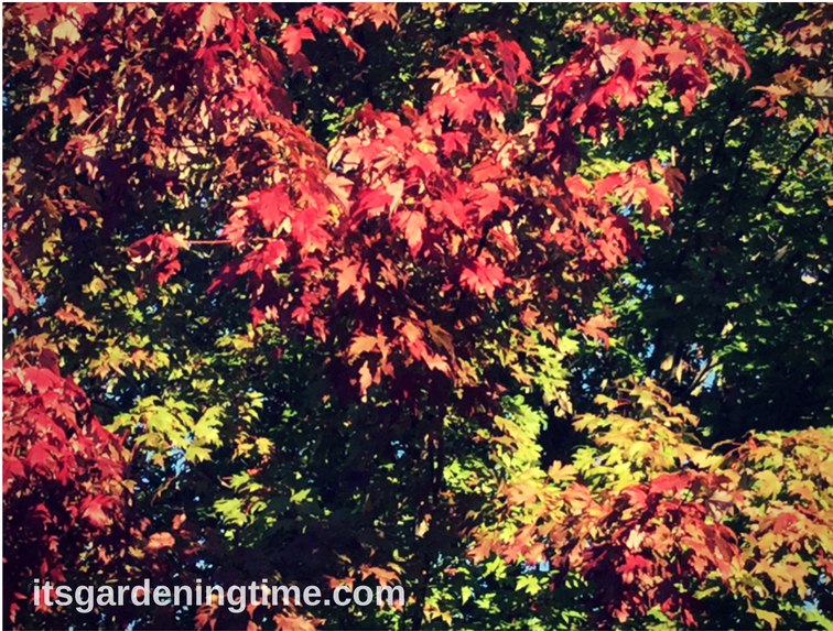 Red Maple Tree in Autumn how to garden beginner gardener