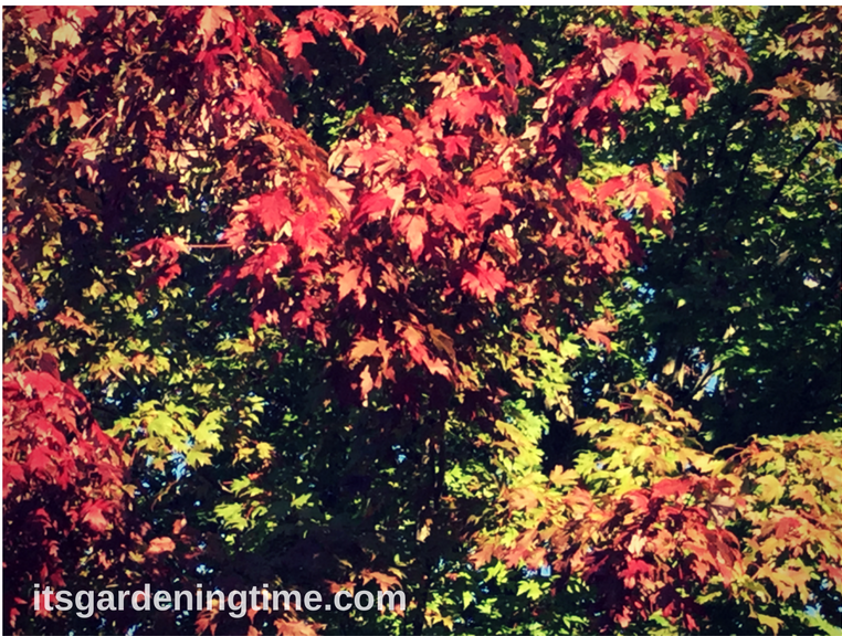 Red Maple Tree how to garden beginner gardener