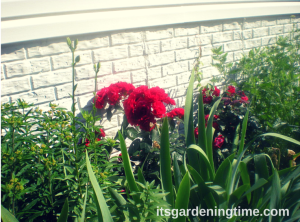 "Side Garden (Milkweed Bush, ""Sonata in Blue"" Bearded Iris, Red Roses, Golden Yarrow)"