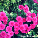 #Magenta #Mum #Flowers! #autumn #chrysanthemum #flower