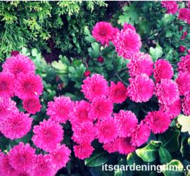 Magenta Mum in Full Bloom how to garden beginner gardener