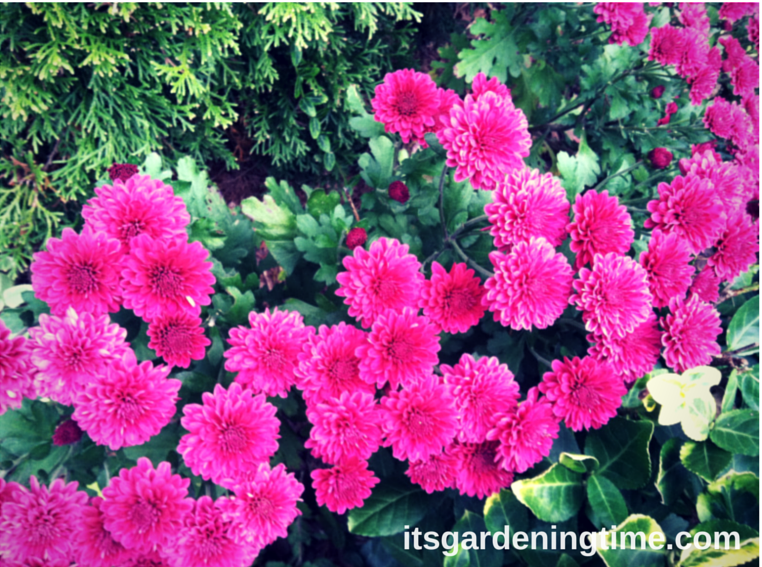 Magenta Mum in Full Bloom how to garden beginner gardener