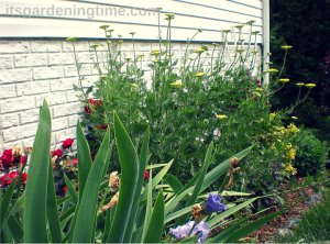 Side Garden (Golden Yarrow)