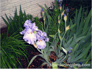 """Sonata in Blue"" Bearded Iris"