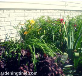"Side Garden (Burgundy Tea Herb, Yellow Lillies, Milkweed Bush, ""Sonata in Blue"" Bearded Iris, Red Roses, Golden Yarrow) how to garden beginner gardener"