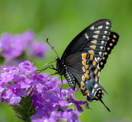 Black Tiger Swallowtail Butterfly [Photo Courtesy: cambridgeincolour.com]