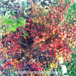 4 Ways Golden Barberry #Shrub Improves #Autumn #Landscape! #shrubs