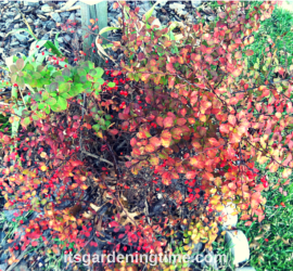 Golden Barberry Shrub in Late Autumn how to garden beginner gardener