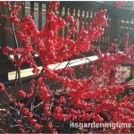 Winterberry #Shrub Adds Stunning Color! #autumn #landscape
