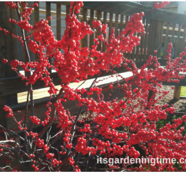 Red Berries Shrub how to garden beginner gardener