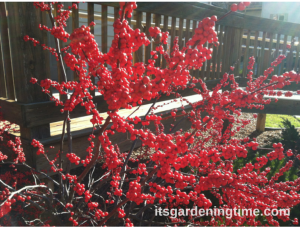 Red Berries Shrub