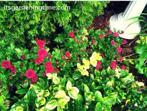Front Sidewalk Garden (Magenta Mum Buds)