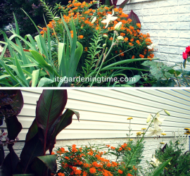 Side Garden (Milkweed, White Lilies, Barberry) beginner gardener how to garden