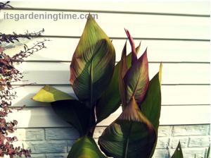 Tropical Canna Leaves
