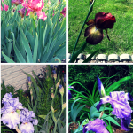 #Spring Bearded #Irises on Parade! #flowerpower #flowers