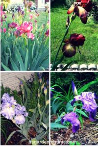 Spring Brings Irises on Parade!