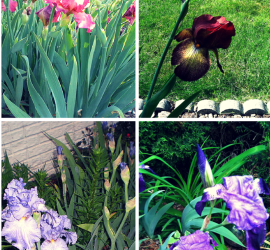 Spring Brings Irises on Parade! how to garden beginner gardener