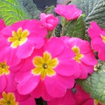 #Primrose Are Early #Spring #Flowers! #flower #flowerpower