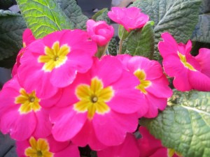 Pink Primrose [Photo Courtesy: www.lindasgarden_net]