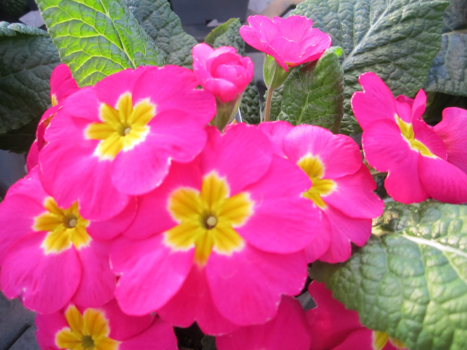 Pink Primrose [Photo Courtesy: www.lindasgarden_net]