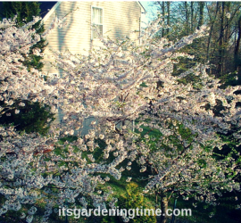 Japanese Cherry Blossoms how to garden beginner gardener