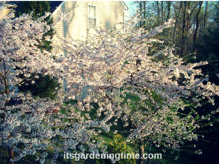 Japanese Cherry Blossoms how to garden beginner gardener