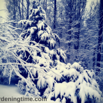 Protect #Evergreens – Knock Off Heavy #Snow! #landscape #snowscape