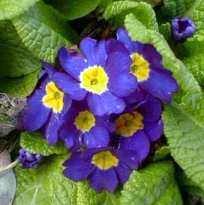 Blue Primrose [Photo Courtesy: www.paghat.com]