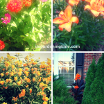 Shades of #Peach in #Summer #Garden! #flowers