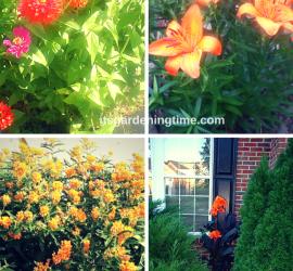 Shades of Peach how to garden beginner gardener