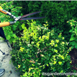 #Prune Non-Flowering #Shrubs in Early #Spring! #howtoprune