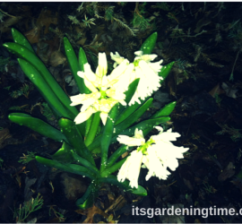 White Hyacinth Blooming in Early Spring Evening how to garden beginner gardener