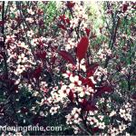 Cistena #Shrub Blooms #Pink #Flowers! #spring #springblossoms